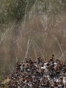 How Ants Protect Themselves Against Birds