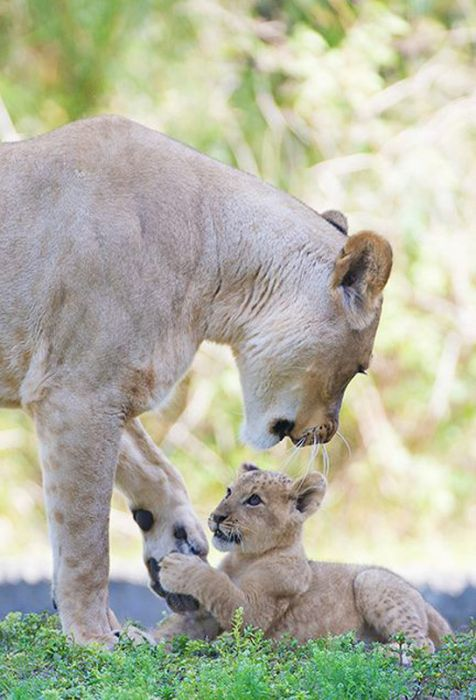 Zoo Miami's New Lion Cub K'wasi