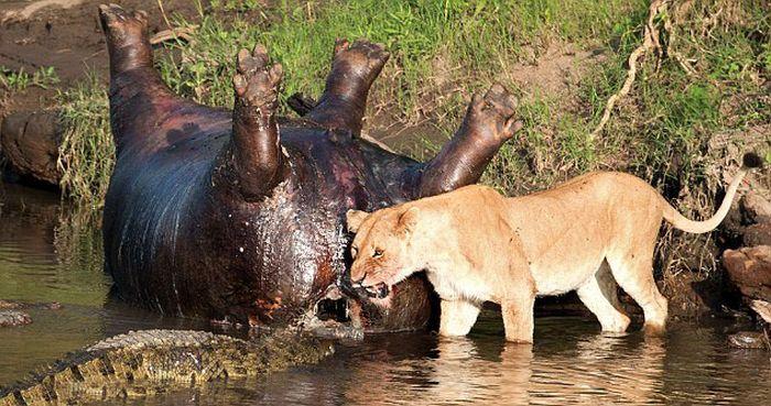 Lioness vs Crocodile
