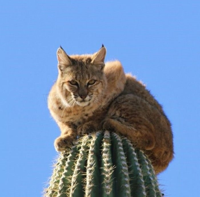 Bobcat Climbs for Its Life