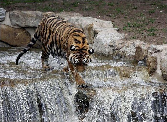 Tiger Jumps Down