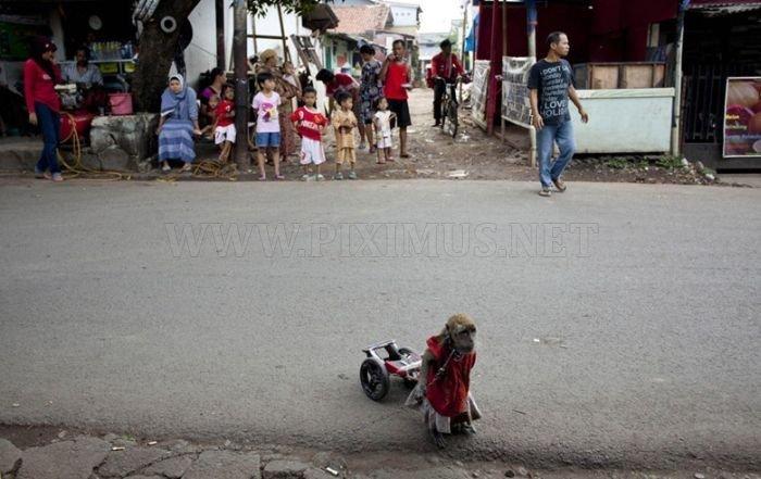 Performing Street Monkeys of Indonesia