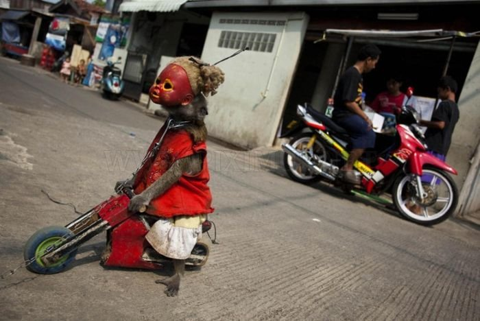 Performing Street Monkeys of Indonesia