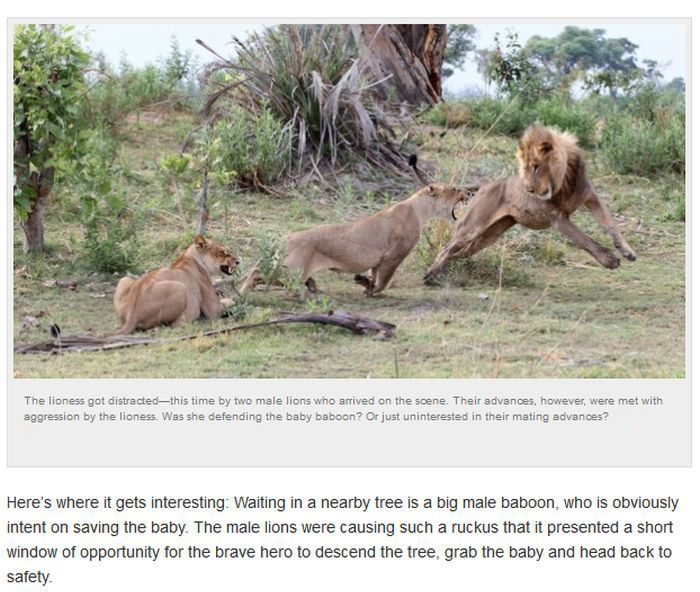 Baby Baboon's Encounter with Lions