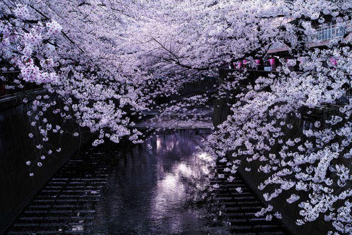 Japanese Cherry Blossom Photos