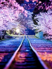Japanese Cherry Blossom Photos