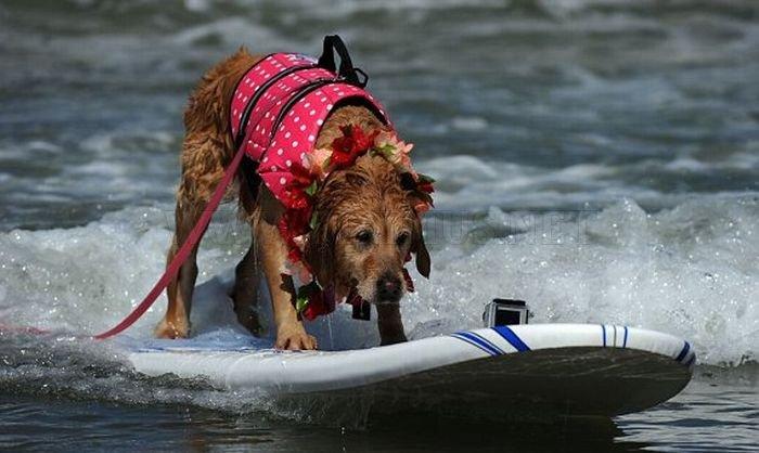 Surf Dog Championship 2011 , part 2011