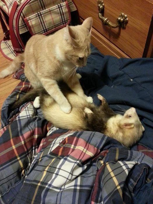 Kitten and Ferrets