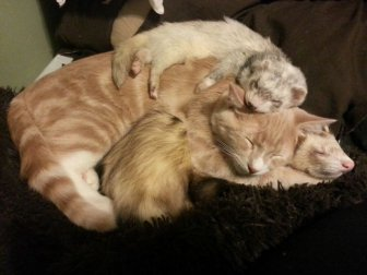 Kitten and Ferrets