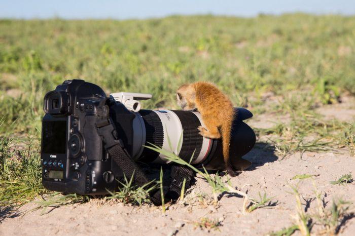 Posing Meerkats