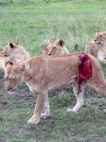 Rescuing a Wounded Lioness