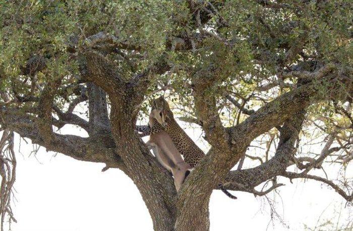 Leopard Dragged Gazelle Up a Tree