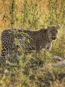 Leopard Dragged Gazelle Up a Tree