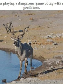 Antelope Escapes Hungry Hyenas