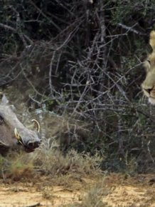 See A Lion Battle A Warthog In These EPIC Pics
