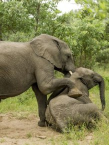 Are These Elephants Drunk Or Just Tired?