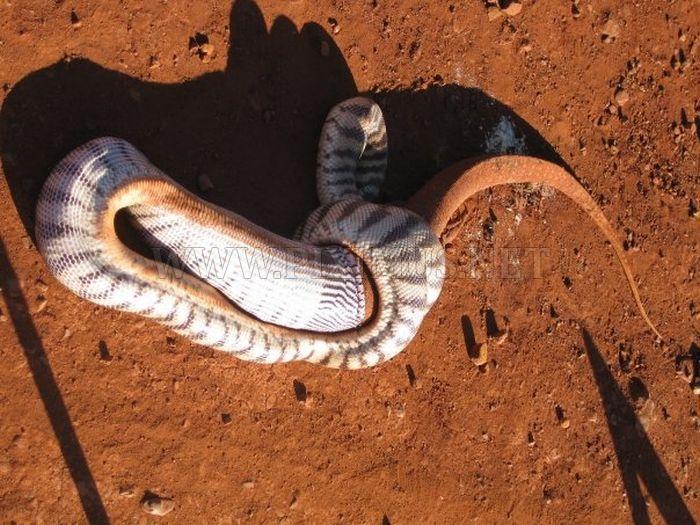 Snake Eats a Lizard
