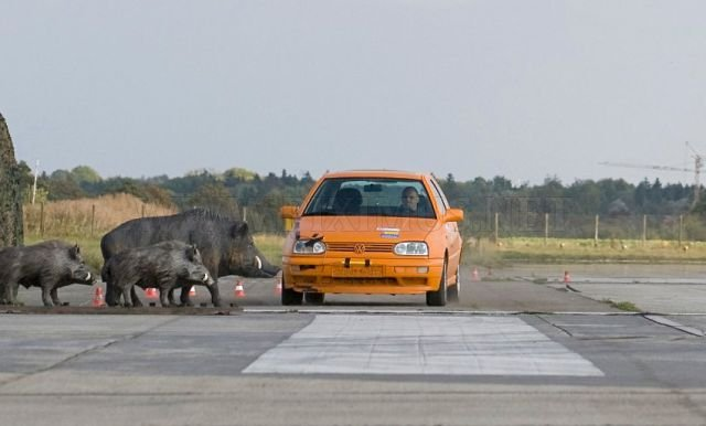Crash Test: Car vs. Boars