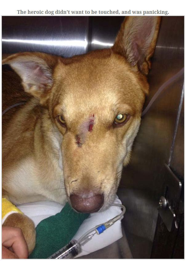 Dog Gets Bit By Rattlesnake Trying To Save Owner