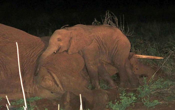 Baby Elephant Won't Leave Mother's Side