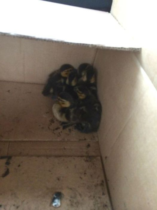 This Is How You Rescue Baby Ducklings