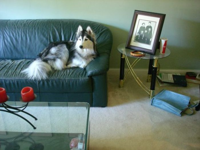 This Husky Was Raised By Cats Now It Wants To Be One