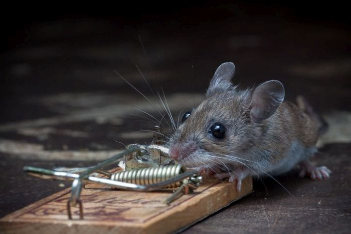 This Mouse Does Battle With A Mousetrap