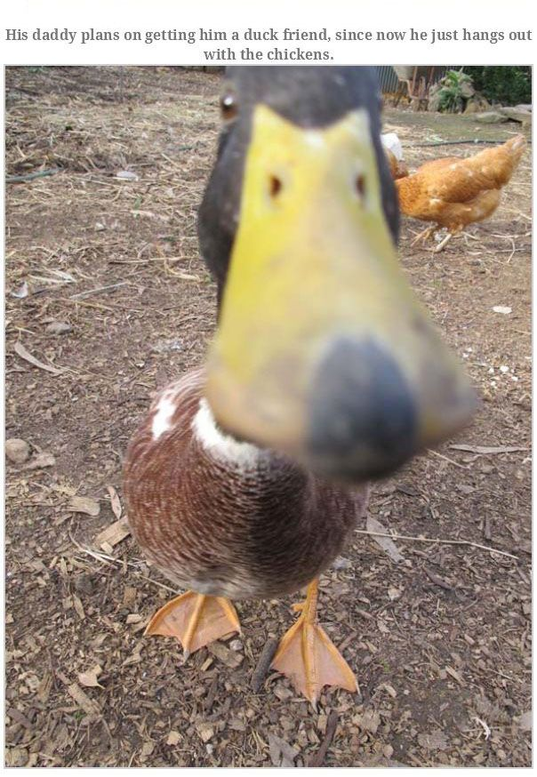 Meet The Duck That's Named Goose
