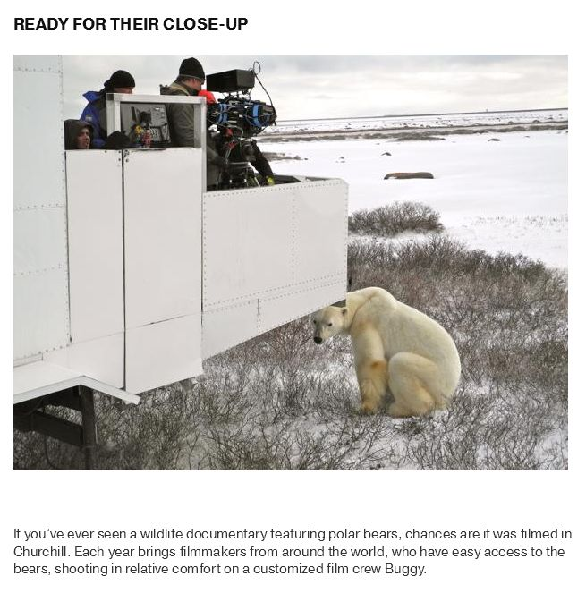 What Life Is Like In The Polar Bear Capital Of The World