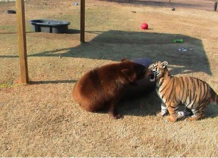 A Lion A Tiger And A Bear Become Best Friends