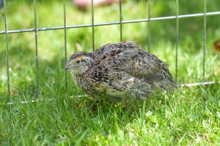 Surprise You've Got A Pet Quail Now