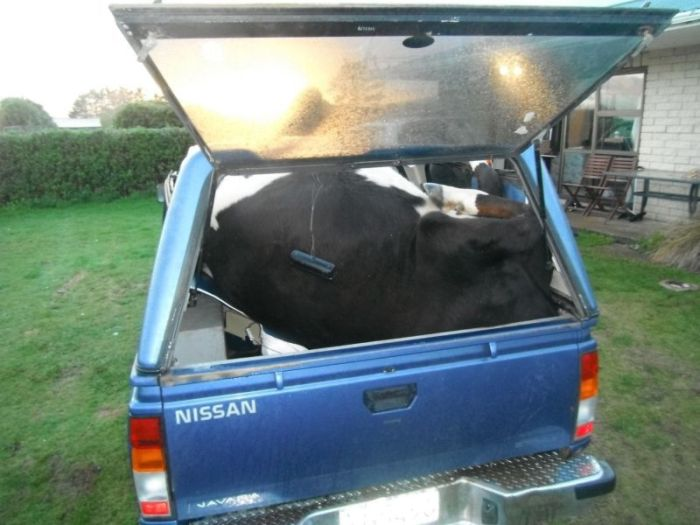 This Is How You Pack A Cow In Your Truck