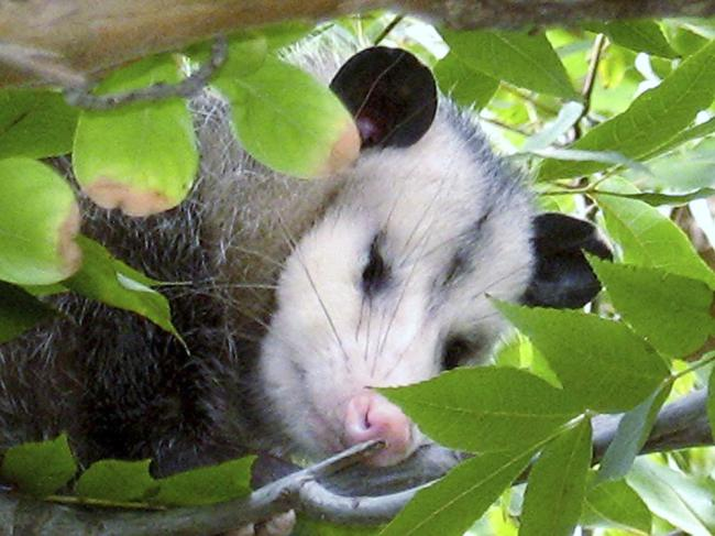 Man Slaps Possum Turns Out To Be Porcupine