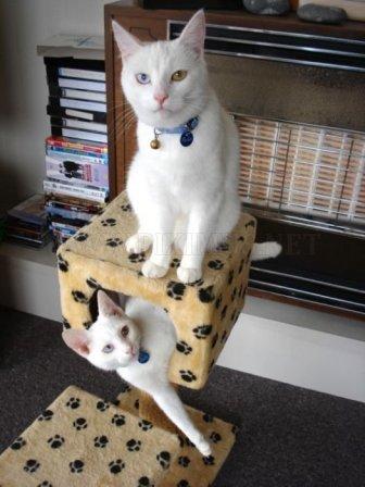 Odd Eyed Cats