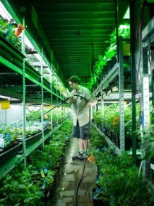 Inside A Marijuana Growhouse