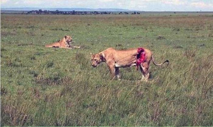 These People Saved A Lion Who Was Brutally Injured