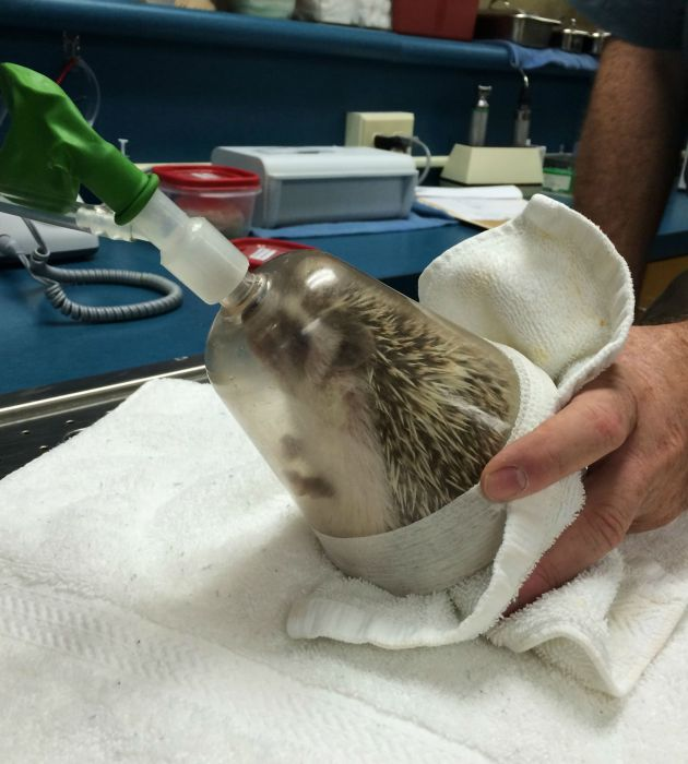 What It Looks Like When Hedgehogs Get Anesthesia