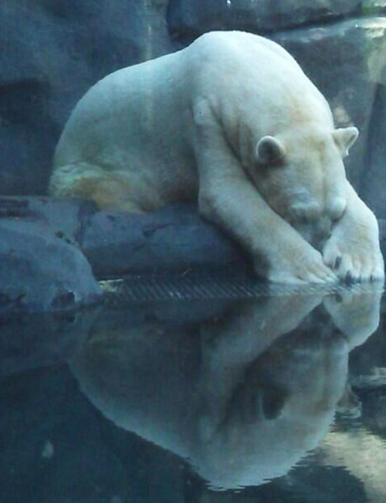 The World's Saddest Polar Bear