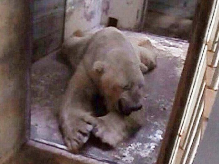 The Worlds Saddest Polar Bear