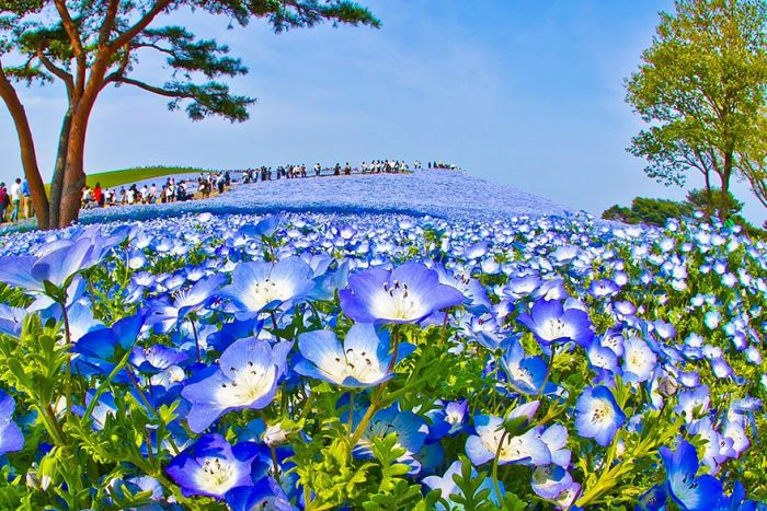 The World's Most Amazing Blue Flower Fields