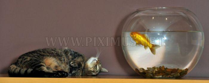 Cat and Goldfish