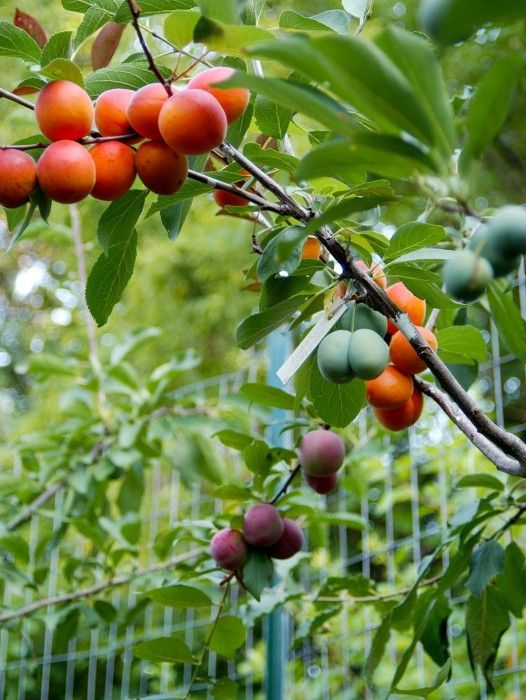 This Tree Can Produce 40 Different Kinds Of Fruits
