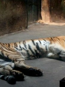 Ridiculously Thin Tiger