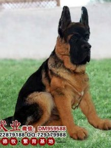 Giant Chinese German Shepherd