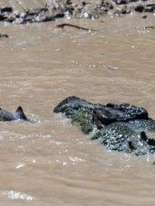 A Crocodile vs a Shark