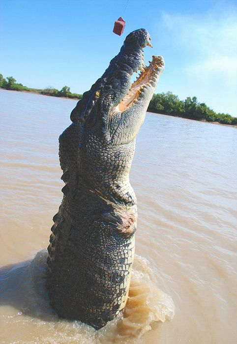 Meet Brutus The Giant Croc