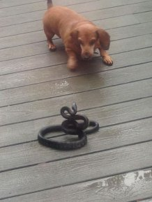 Dogs Play Tug Of War With A Snake