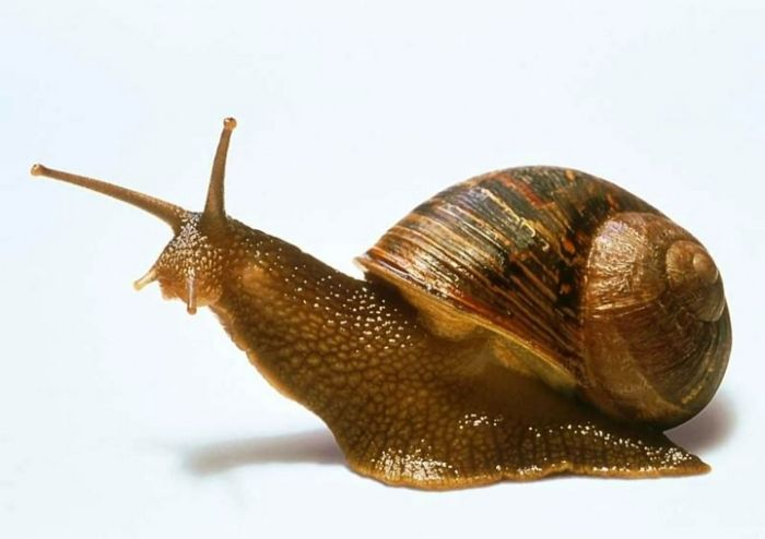 Snail Eggs Are A Delicacy