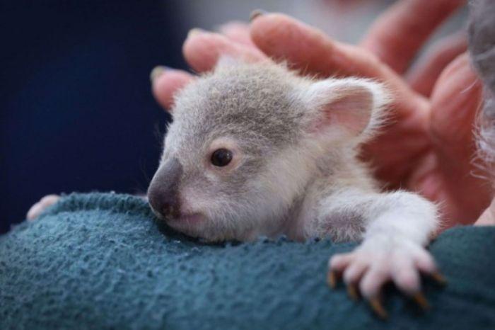 Meet Blondie Bumstead The Baby Koala