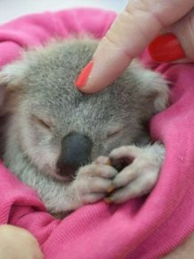 Meet Blondie Bumstead The Baby Koala